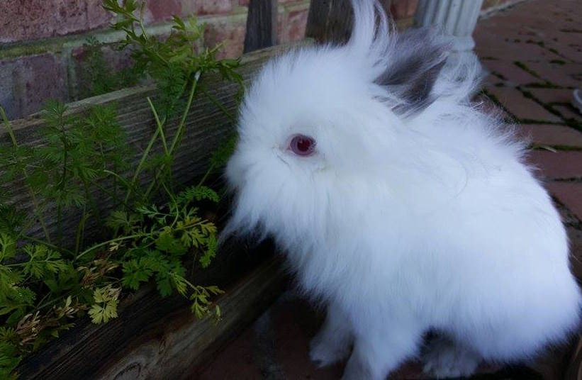 What Herbs Can Rabbits Eat?