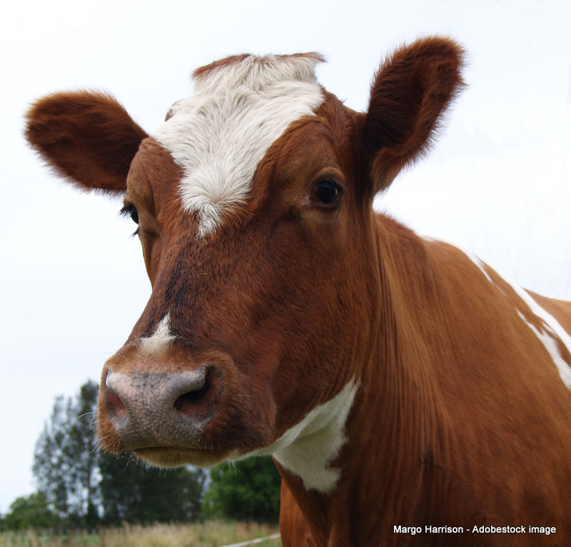 dairy-cow-breeds