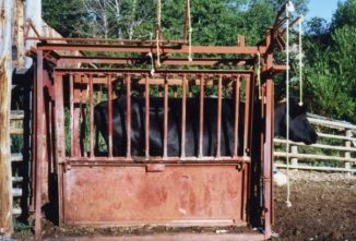 Cattle Handling 101: Play it Safe