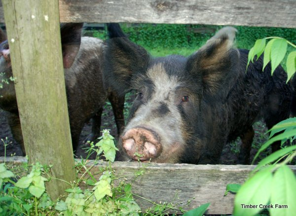 castrating-pigs