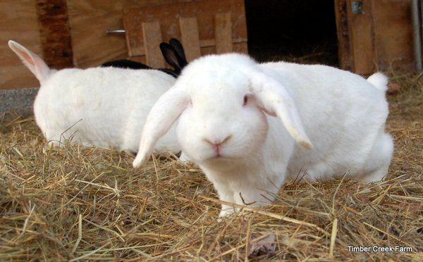warbles-in-rabbits