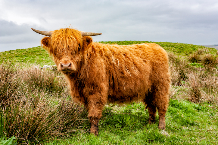 Raising Highland Cattle for Beef