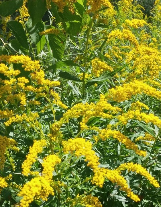 Goldenrod Uses for Herbal Home Remedies