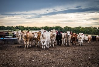 Prevention Key to Defend Against Pinkeye in Cattle