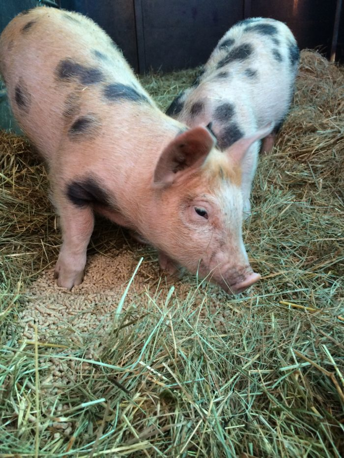 Farm Piglets for Sale in Today's Market