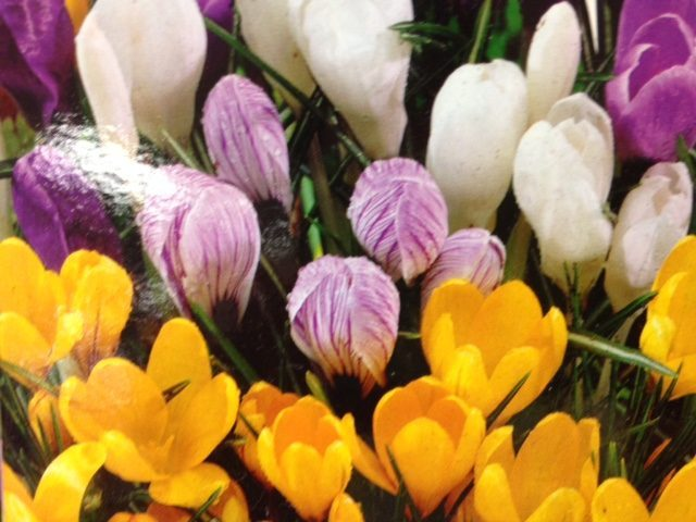 How to Plant Daffodil, Tulip, and Other Bulbs in Pots