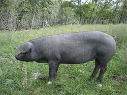 raising-pigs-for-meat