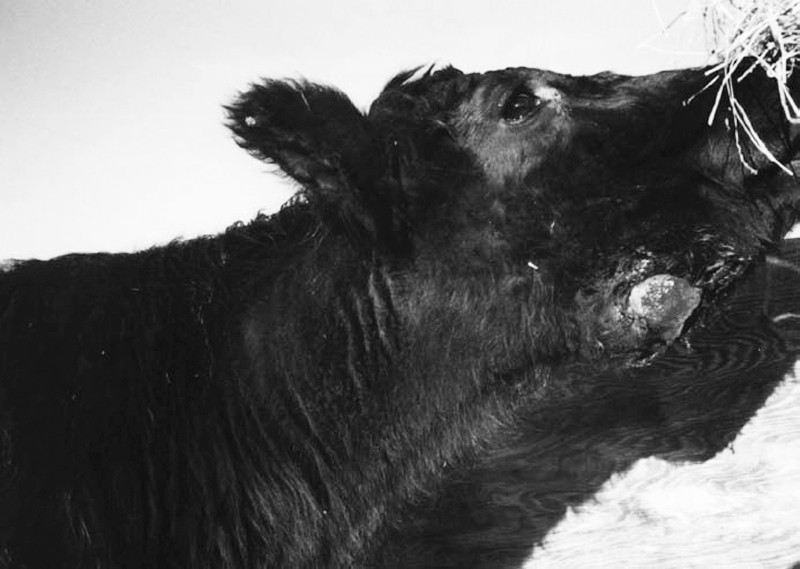 lump-jaw-in-cattle