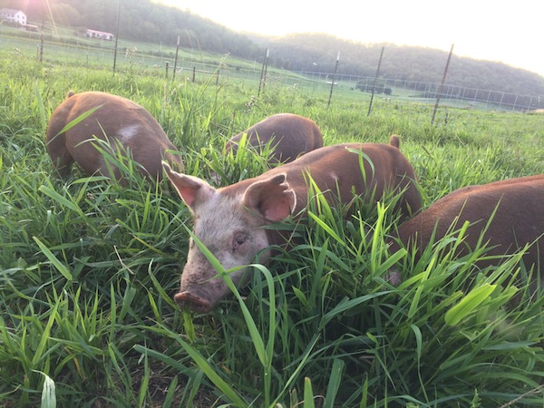 what-not-to-feed-pigs