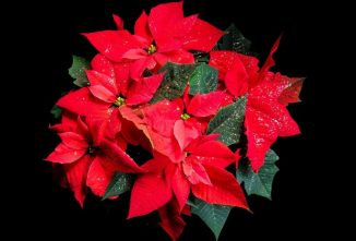 How to Take Care of a Poinsettia Plant for Years of Blooming