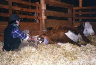 Calving Success: How to Assist a Cow Giving Birth