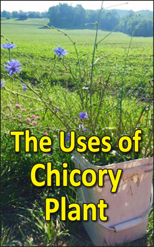 Uses of Chicory Plant