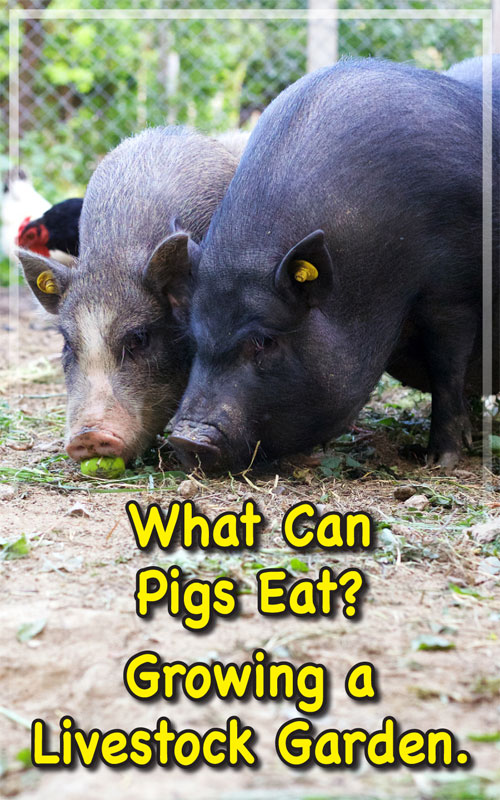 What Can Pigs Eat