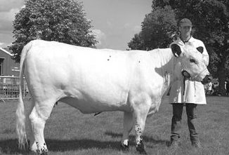Raising British White Cattle for Flavorful Meat