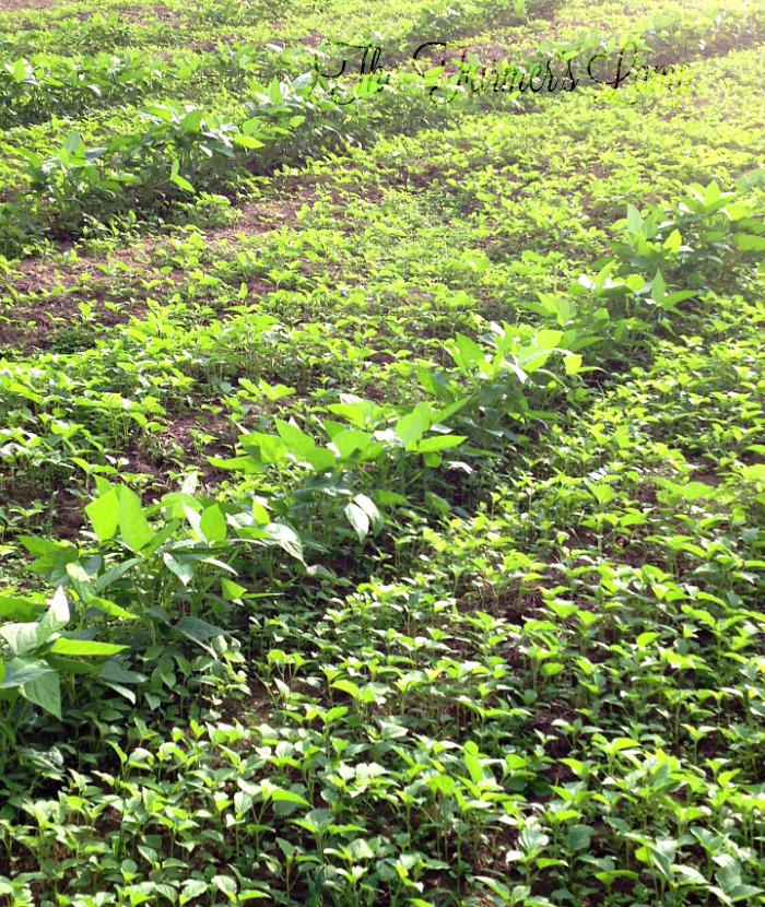 Which Cover Crops for Gardens Work Best in Your Climate?