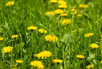 Dandelion Uses from Root to Fluff
