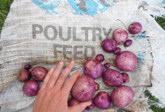 Growing Potatoes in a Bag or a Bucket