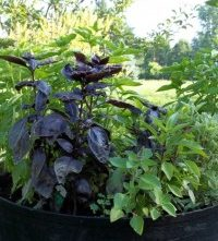A Guide To Growing Basil