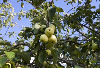 How to Care for Apple Trees & Other Varieties