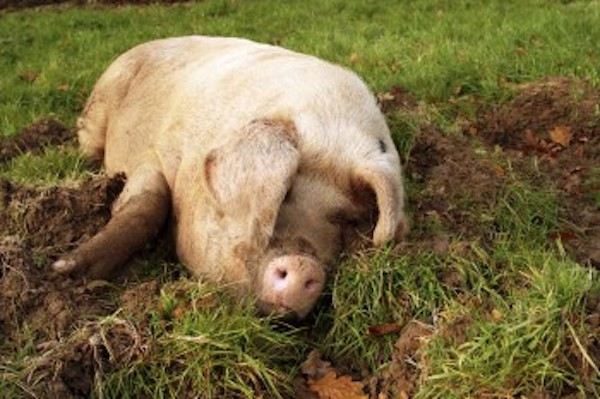 Tips on How to Raise a Pig for Meat