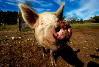 How to Start Pig Farming Today