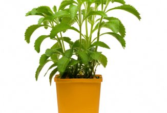 Growing Stevia Indoors: Produce Your Own Sweetener