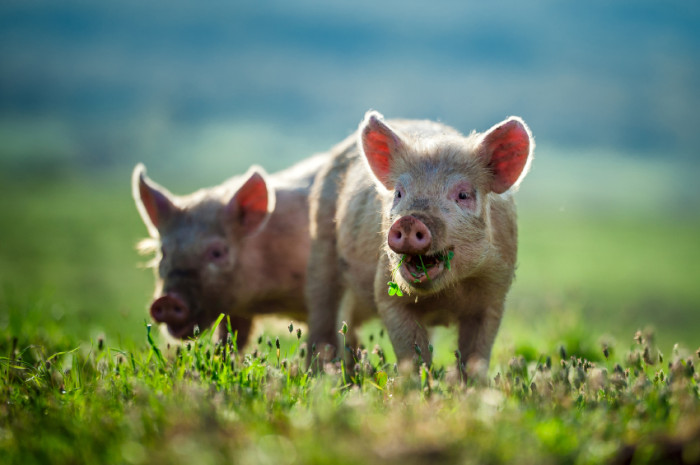 how-to-raise-a-pig-for-meat