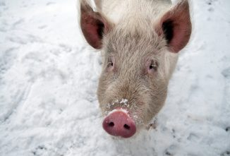 Cold Weather Tips for Raising Hogs for Meat