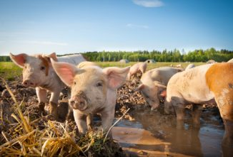 Free Range Pig Farming on the Homestead