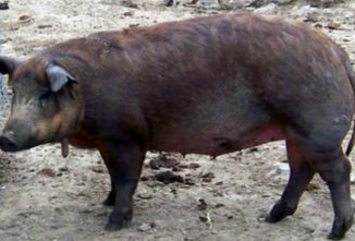 Breed Profile – The Red Wattle Pig