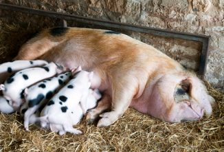 Raising Spotted Pigs: Gloucestershire Old Spot
