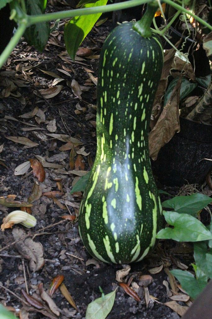 Growing Squash in Containers: Green Striped Cushaw
