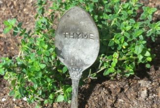 Growing and Harvesting the Thyme Plant
