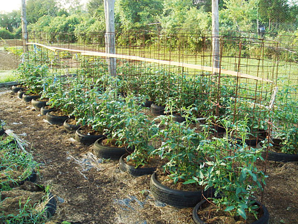 How to Care for Tomato Plants in Tires