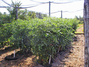Chicken Wire in Tomato Patch