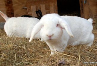 How the Bot Fly Causes Warbles in Rabbits
