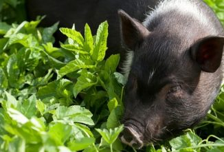 What Can Pigs Eat Out of Your Garden?
