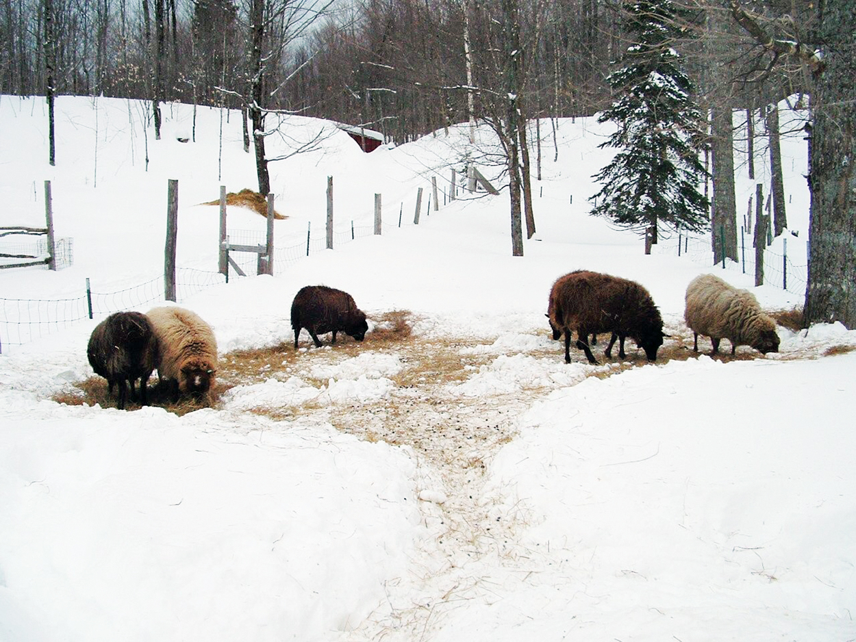 Sheep Breeds That Pay Their Way