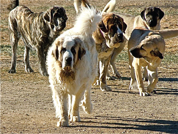 Adding New Dogs Into an Existing Livestock Guardian Dog Pack