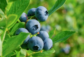 How Do Blueberries Grow?