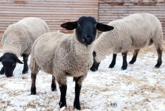 Try Suffolk Sheep for Meat and Wool on the Farm