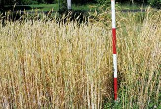 A Guide To Planting Banatka Wheat