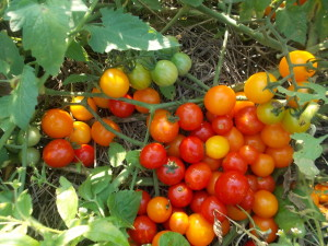 how-long-does-it-take-tomatoes-to-grow