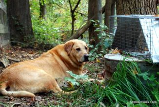 Canine Parvo Recovery Timeline and Treatment