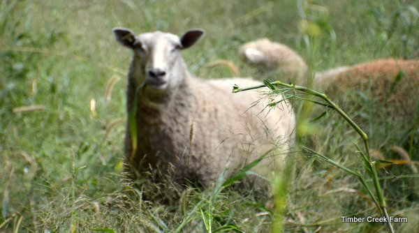 Sheep Breeds for Fiber, Meat, or Dairy