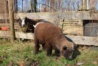 Raising Miniature Goats, Cows, Chickens, and Sheep