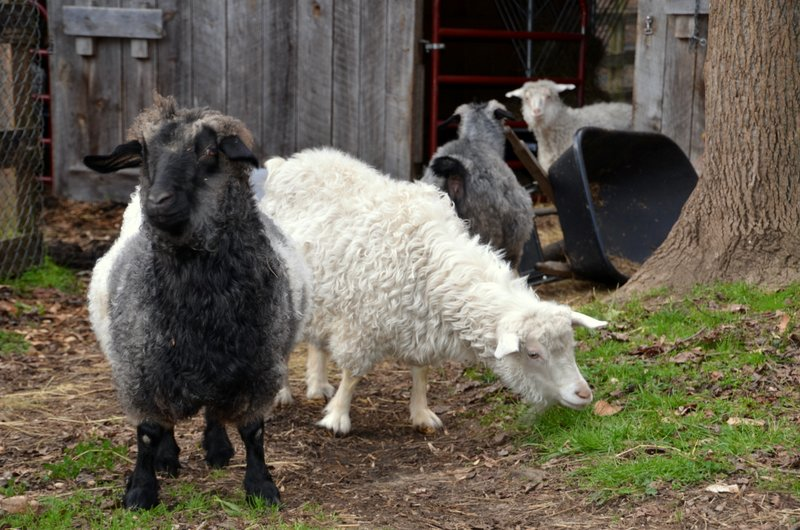 wool-yielding-animals
