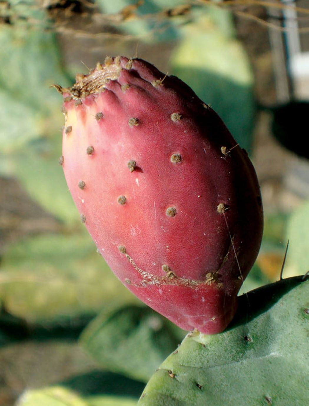 Foraging For Prickly Pear Cactus