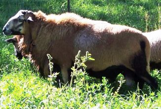 Barbados Blackbelly Sheep: Back From the Brink of Extinction