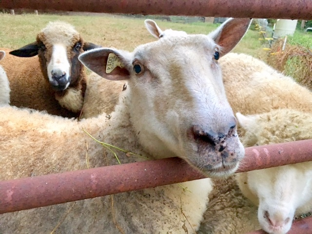 Pink Eye in Sheep: Treat or Let it Run its Course?
